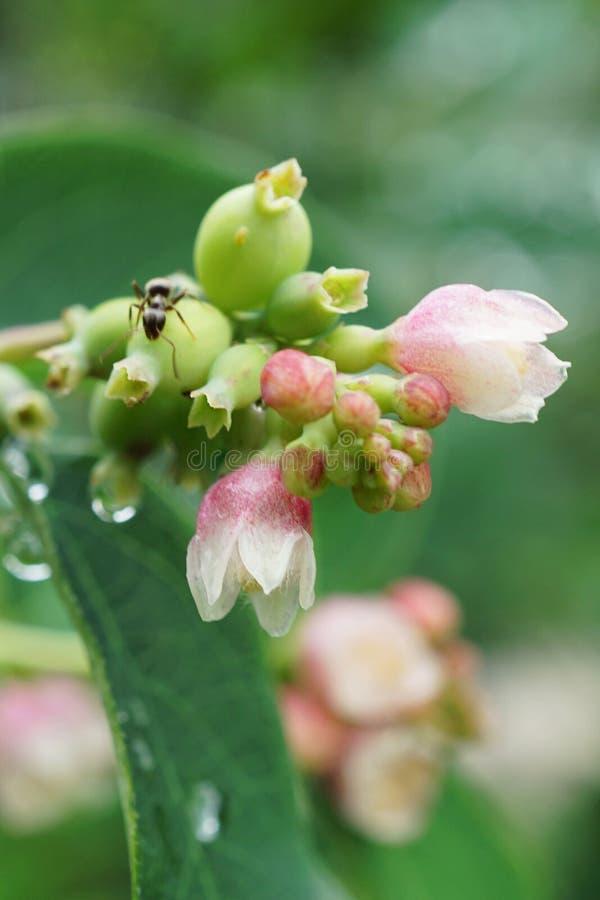 La macro del snowberry blanco y rosado florece el albus o del Symphoricarpos imagenes de archivo