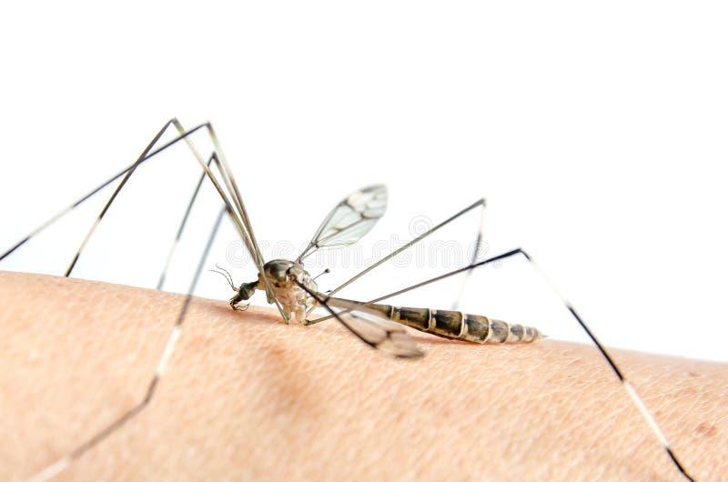 La macro della zanzara su pelle e le zanzare stanno succhiando il sangue immagini stock libere da diritti