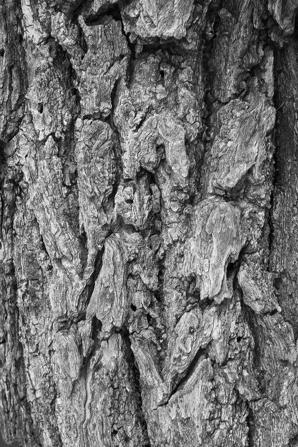 La macro di una corteccia in bianco e nero crea un effetto astratto o immagine stock