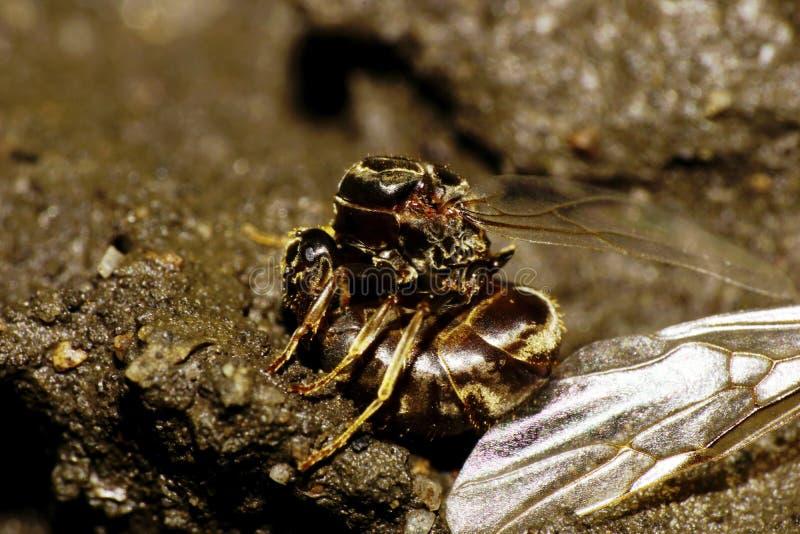 La macro dobló el reset caucásico de las alas de la hormiga fotografía de archivo libre de regalías