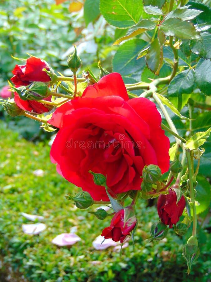 La macro foto con il velluto varietale dei bei del fondo di struttura petali rossi luminosi decorativi del fiore è aumentato fotografie stock