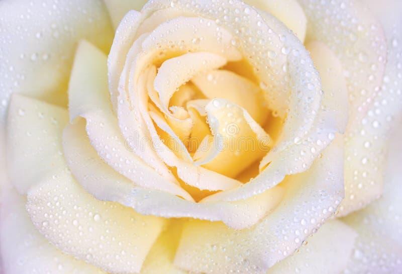 La macro foto di è aumentato con le gocce dell'acqua Primo piano di rosa di bello colore giallo fotografia stock libera da diritti