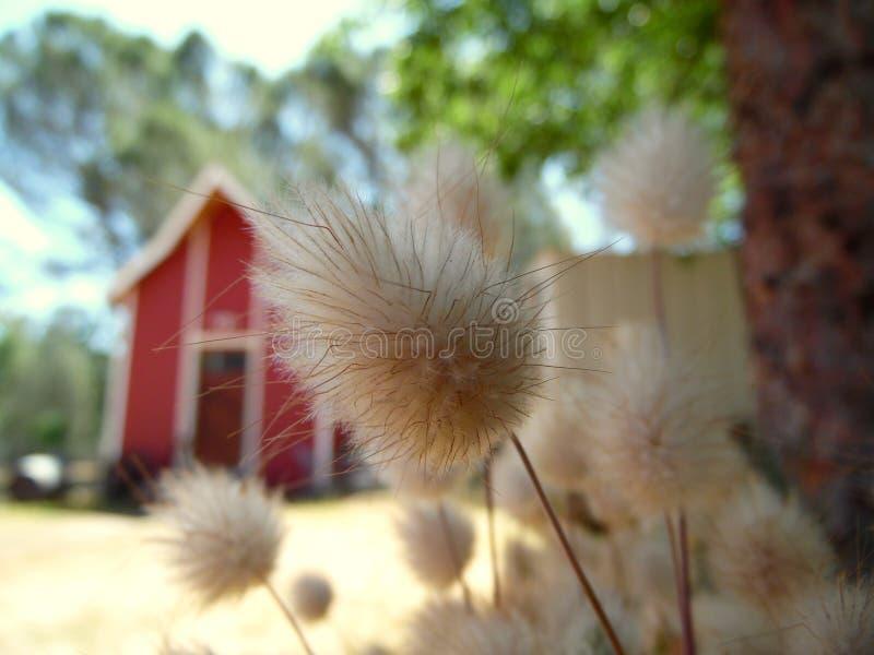 La macro fotografia di coniglio munisce il granaio di coda dell'erba fotografia stock