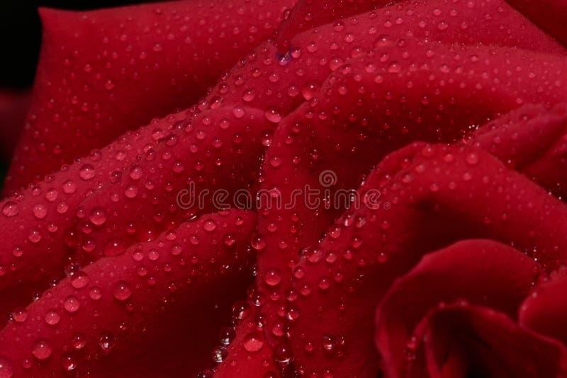 La macro immagine a colori della rosa rossa ha chiamato Burgund con le gocce di acqua fotografia stock libera da diritti