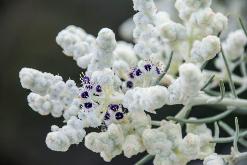 La macro indigena del wildflower di Australia occidentale figlia la lana fotografia stock