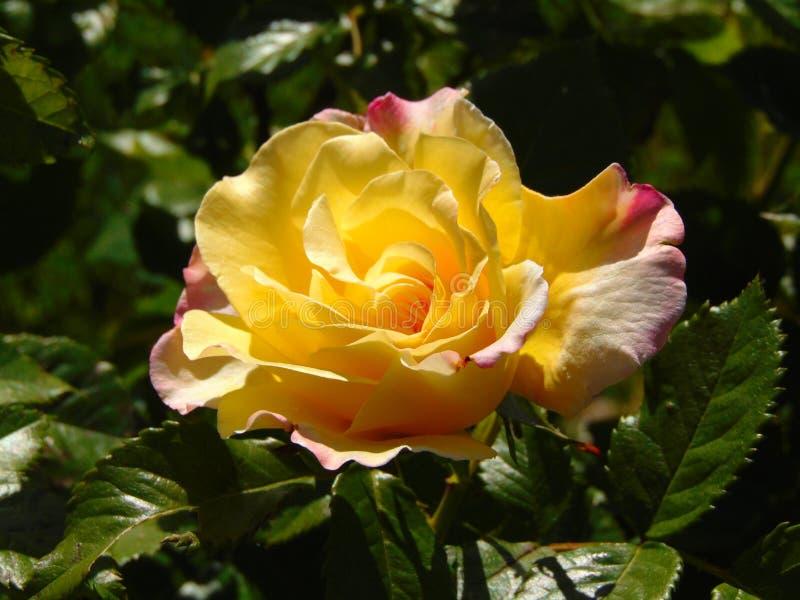 La macro photo avec un jardin décoratif de fond naturel fleurit Bush photographie stock