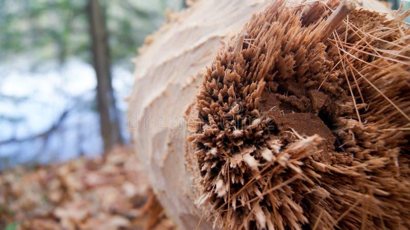 La macro photo du tronc d'arbre rongée et a abattu par des dents de castors dans les bois à côté d'un lac dans le Massachusetts,  photographie stock