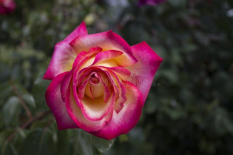 La macro subió en amarillo y color color de rosa fotos de archivo