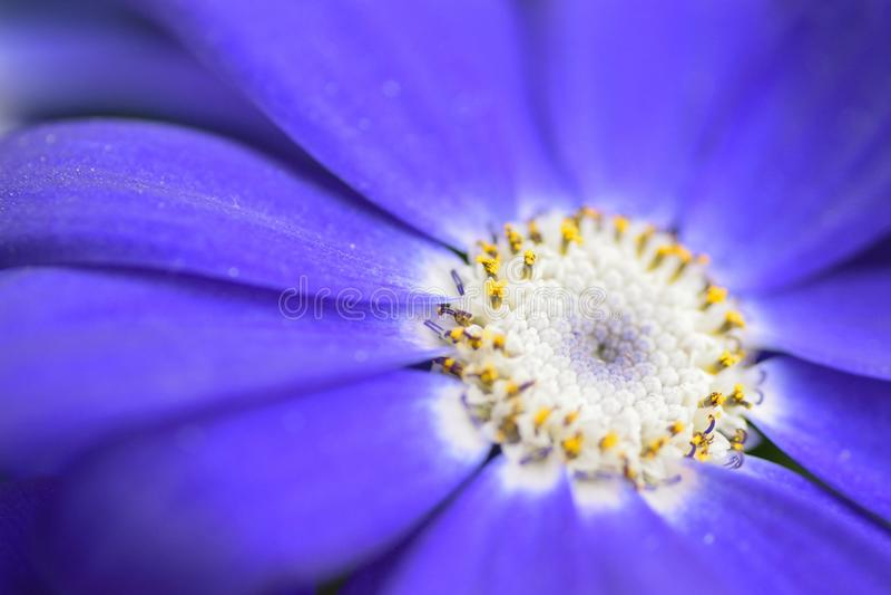 La macro texture du bleu vibrant a coloré la fleur d'aster image libre de droits