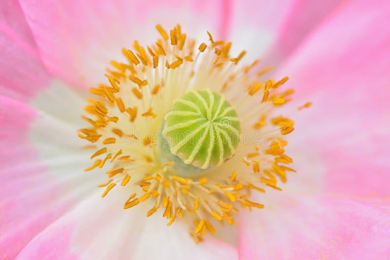 La macro texture du rose vibrant a coloré la fleur de pavot photos libres de droits