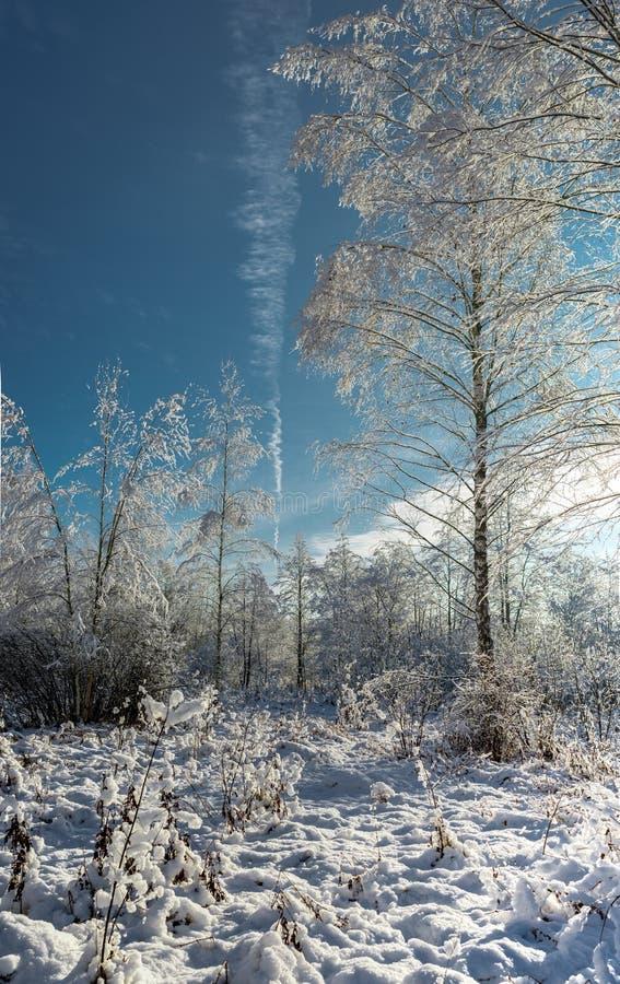 la madera de la nieve en día soleado/abetos Nevado en bosque del invierno en s fotos de archivo libres de regalías