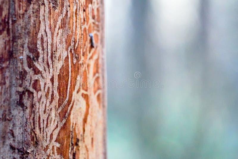 La madera del árbol de pino erosionada en wormholes sufre de la infección del escarabajo de corteza imagen de archivo libre de regalías