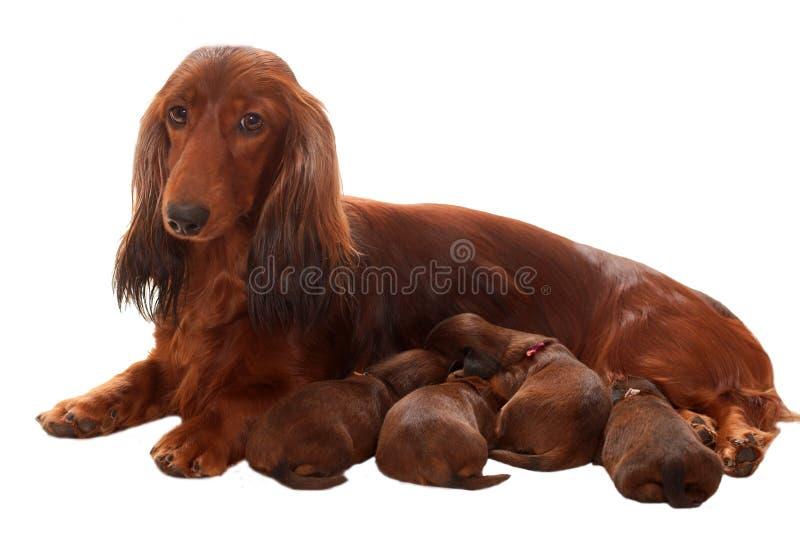 La madre con amamanta perritos imagen de archivo libre de regalías