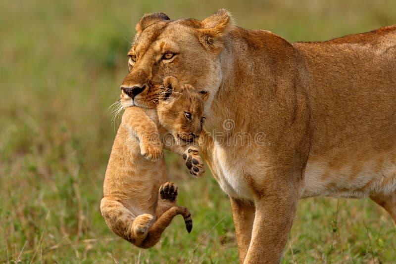 La madre della leonessa porta il suo bambino fotografia stock libera da diritti