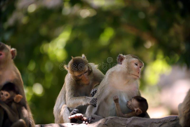 La madre della scimmia sta allattando al seno fotografie stock