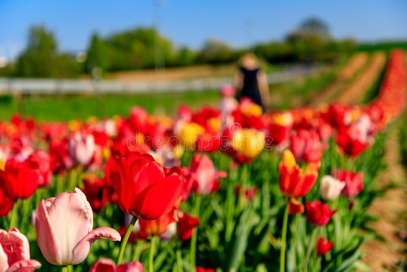 La madre e la figlia selezionano i fiori nel sole fotografie stock