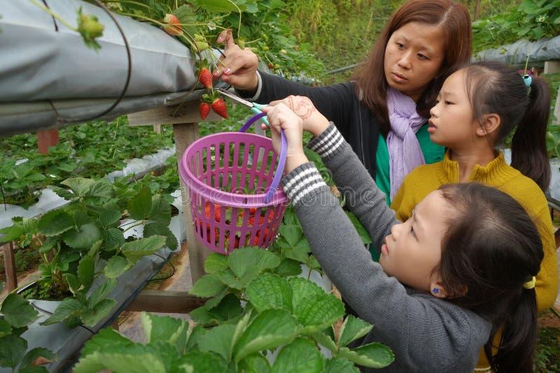 La madre joven y dos niñas se están divirtiendo en la fresa f fotos de archivo