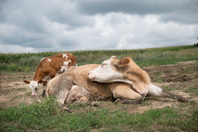 la Madre-vaca miente en el campo al lado del becerro Dos vacas belgas en un campo en el Moldavia rural Una madre grande de la vac fotos de archivo