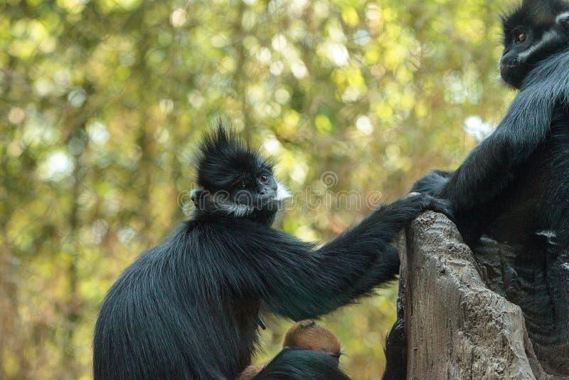 La madre y el niño Francois Langur monkey a la familia Trachypithecus franco imagen de archivo libre de regalías