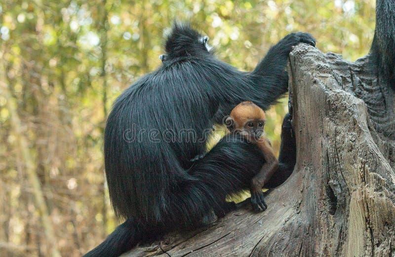 La madre y el niño Francois Langur monkey a la familia Trachypithecus franco fotografía de archivo
