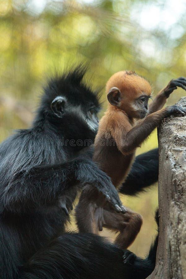 La madre y el niño Francois Langur monkey a la familia Trachypithecus franco imagenes de archivo