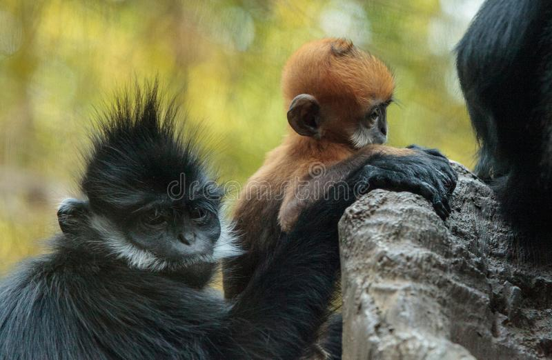La madre y el niño Francois Langur monkey a la familia Trachypithecus franco fotografía de archivo libre de regalías