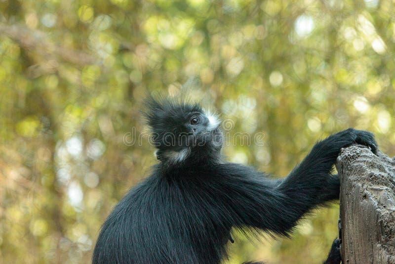La madre y el niño Francois Langur monkey a la familia Trachypithecus franco fotos de archivo