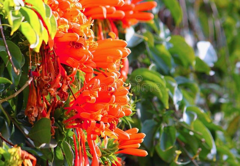 La madreselva anaranjada florece brillando en la luz del sol con el fondo de la planta verde fotografía de archivo