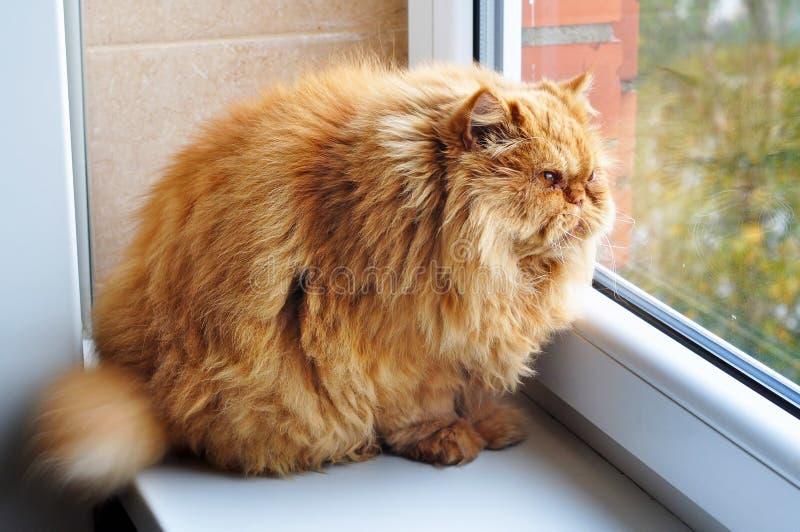 La maggior parte del gatto divertente dello zenzero del ghiottone grasso immagine stock
