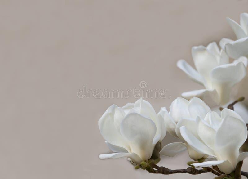 La magnolia bianca delicata fiorisce per gli inviti di nozze, pubblicità, manifesti, segni ed altri grandi idee e concetti Horiz fotografia stock libera da diritti