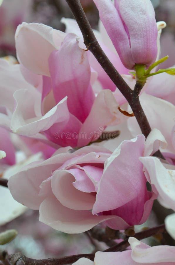 La magnolia di piattino comincia a aprirsi in primavera in anticipo immagini stock libere da diritti
