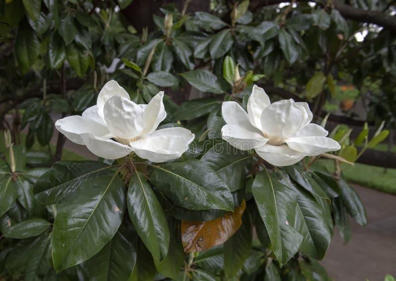 La magnolia fleurit vue de plan rapproché, avec la pluie légère images libres de droits