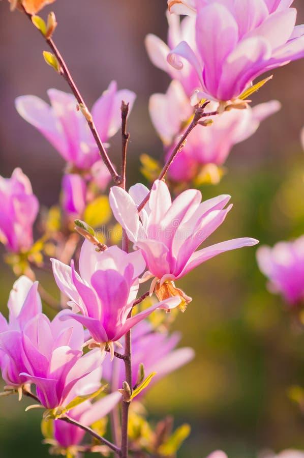 La magnolia florece el flor fotografía de archivo