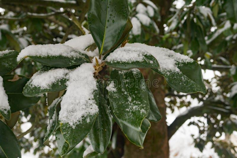 La magnolia innevata lascia -2 immagini stock