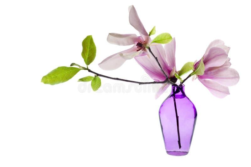 La magnolia Jane sboccia in un vaso viola isolato fotografie stock libere da diritti