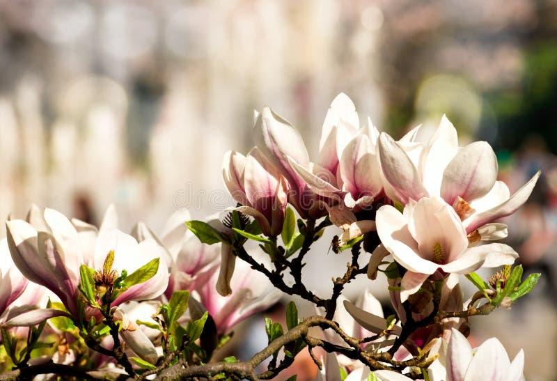 La magnolia rose fleurit sur le brunch contre le bâtiment photo stock