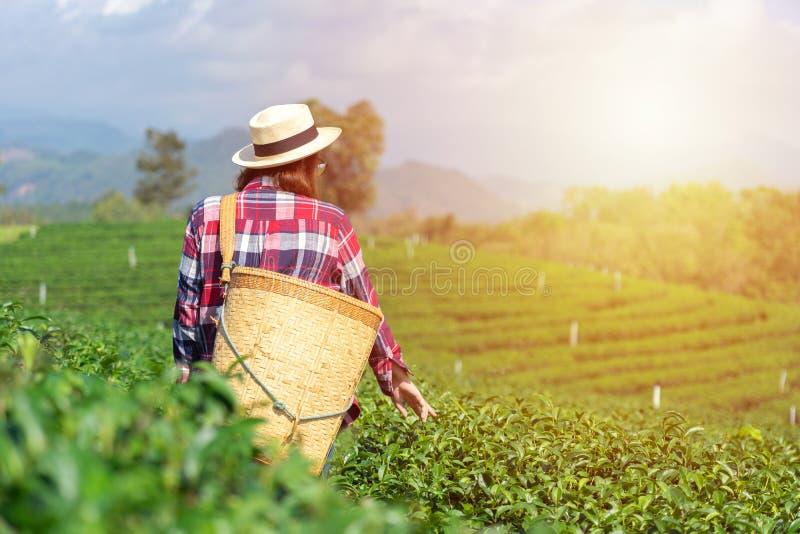 La main asiatique de femme prenant les feuilles de th? de la plantation de th?, les nouvelles pousses sont les pousses molles L'e photos stock