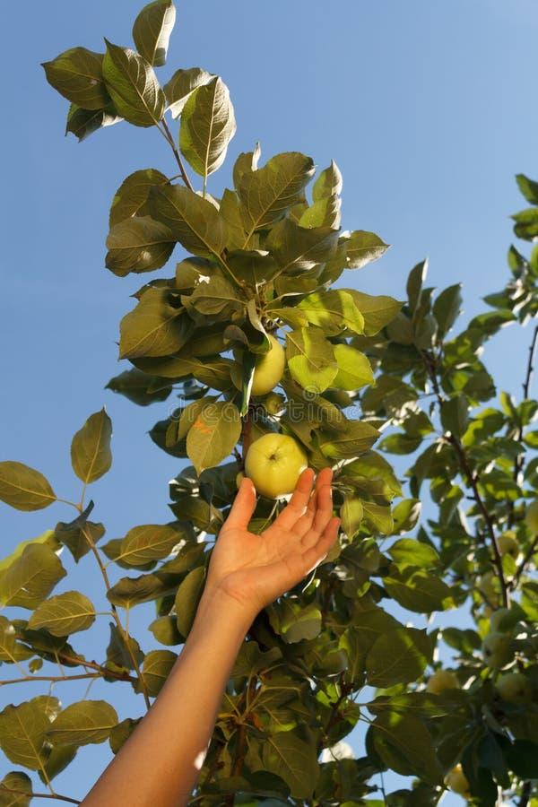 La main d'une femme blanche plument une pomme verte d'une branche avec photos stock