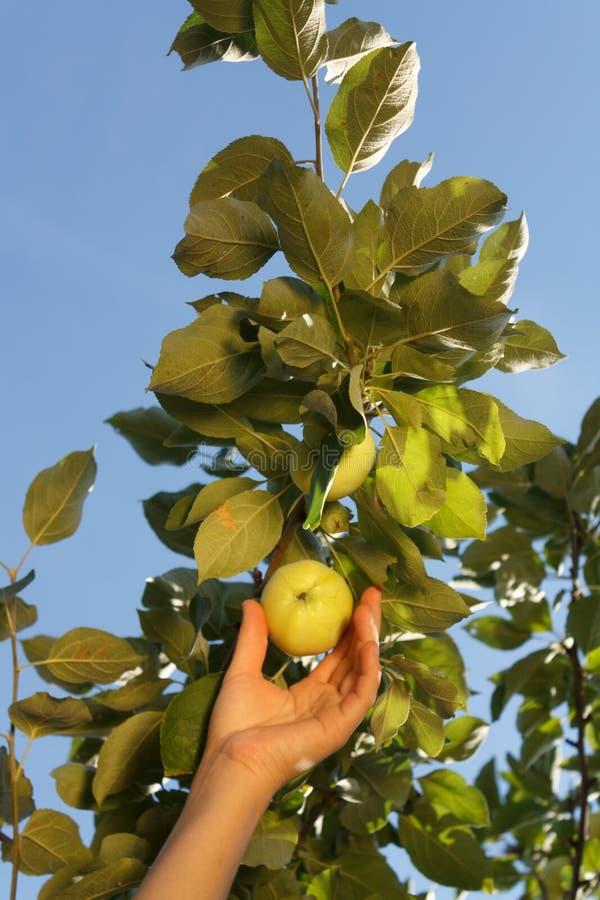 La main d'une femme blanche plument une pomme verte d'une branche avec photos libres de droits