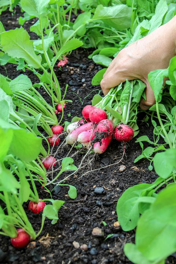 La main d'une femme a pris la première récolte des radis dans le jardin augmenté de lit photo stock