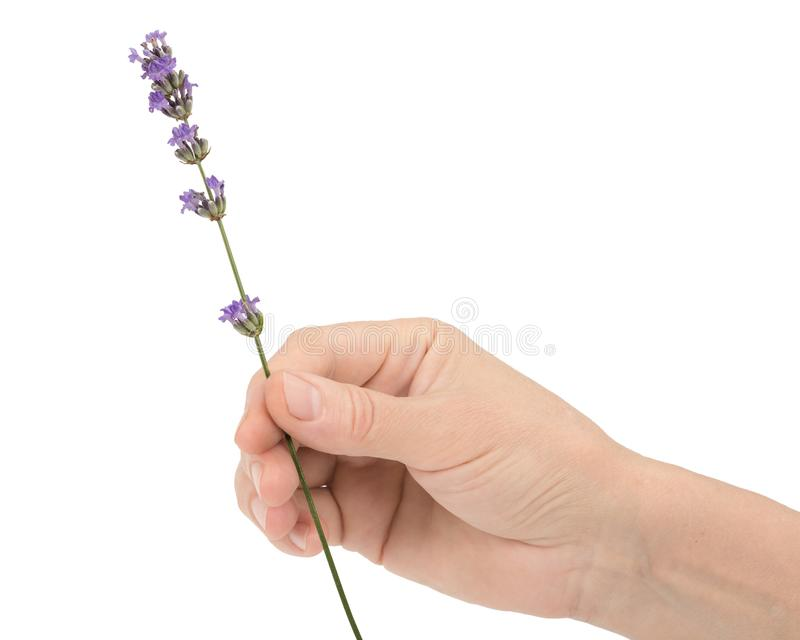 La main d'une femme tient une fleur de lavande, d'isolement sur le fond blanc photographie stock libre de droits