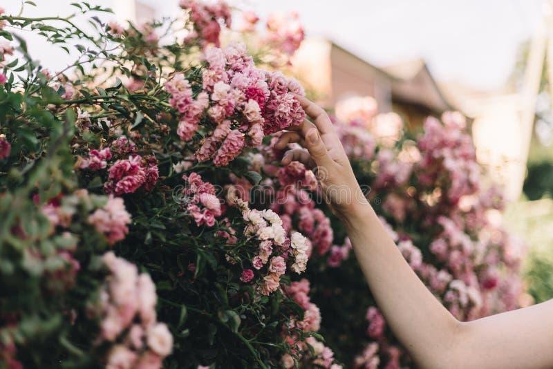La main de la fille frotte un arbre de fleur dans la lumière de coucher du soleil photographie stock