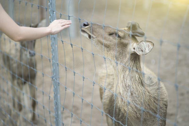 La main de la femme atteignent pour le contact un cerf commun, soit aimable un cerf commun, effet de lumière du soleil sur le coi photo libre de droits