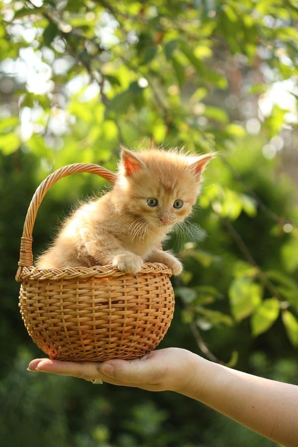 La main de la femme tenant le panier avec le petit chaton images stock