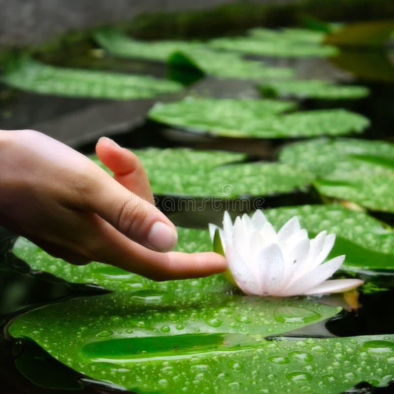 La main de la femme touchant un Waterlily dans un étang