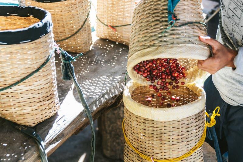 La main de versement d'agriculteur a s?lectionn? les baies de caf? rouges m?res d'arabica dans un autre panier dans le village d' photos libres de droits