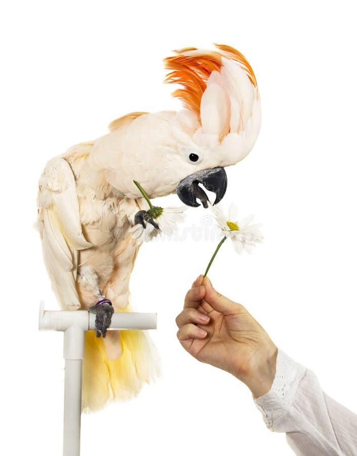 La main du femme donne le cockatoo de fleur photos stock