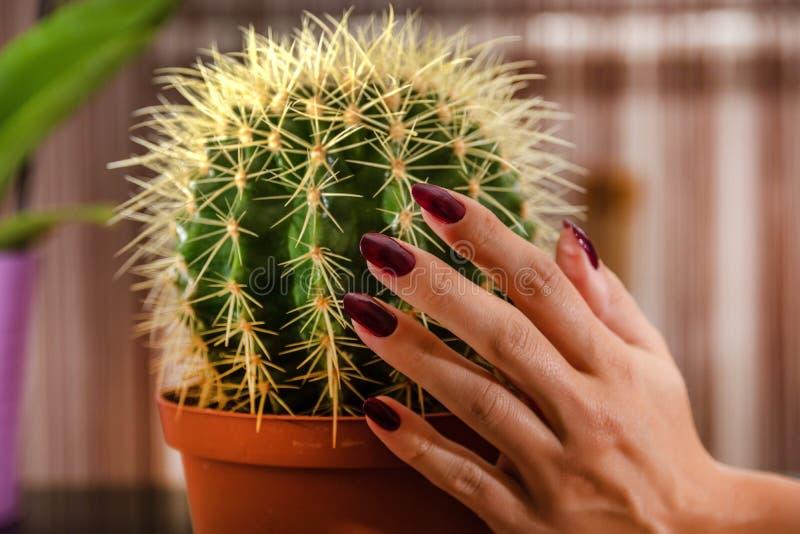 La main femelle touche le cactus dans le pot de fleur dans la maison photo stock