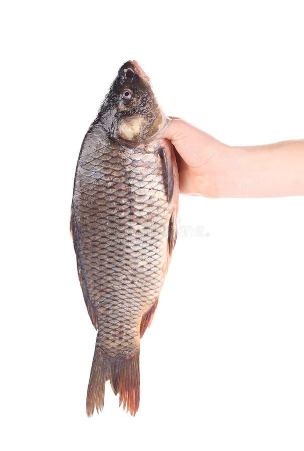 La main tient le poisson frais image stock
