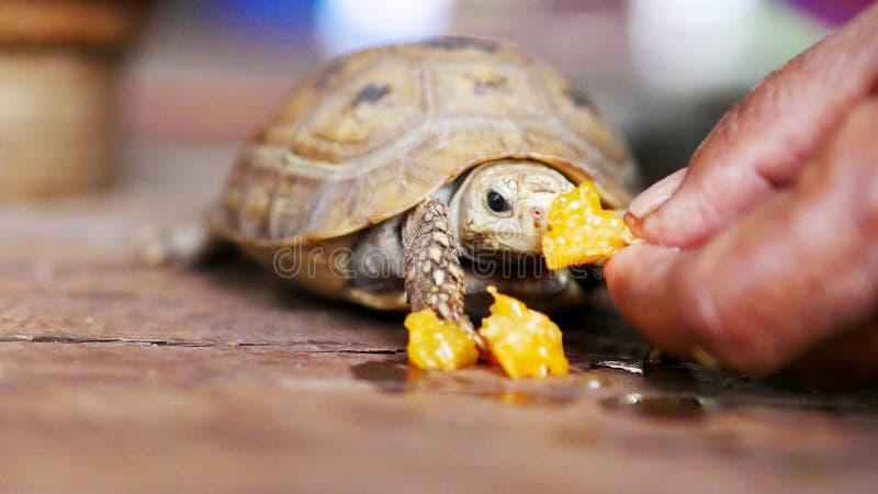 La main tient la nourriture pour la petite tortue a alimenté à la maison photo stock